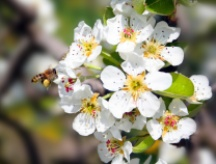 apfelblüte mit biene / apple blossom with bee 4