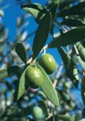 olive-ifs-ecocert